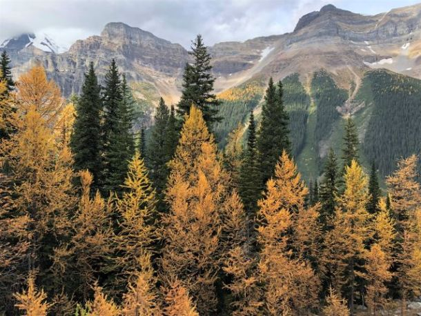Fall in Banff larch trees