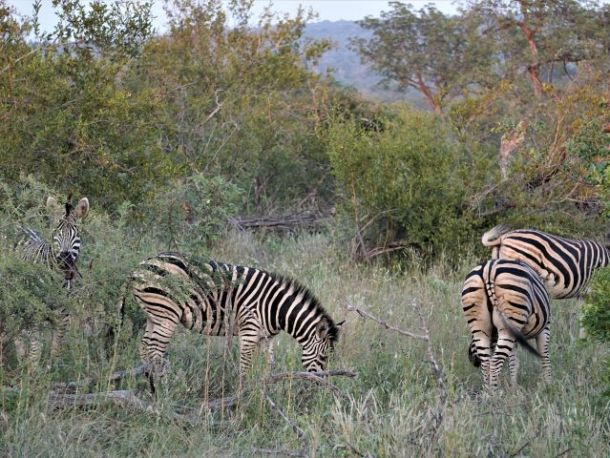 Four Zebras with their black and white stripe patterns