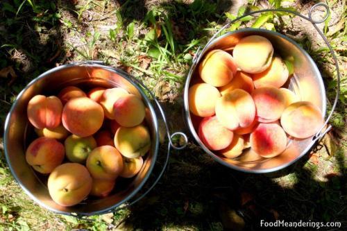 Freshly picked peaches