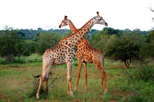 Giraffes Greater Kruger National Park