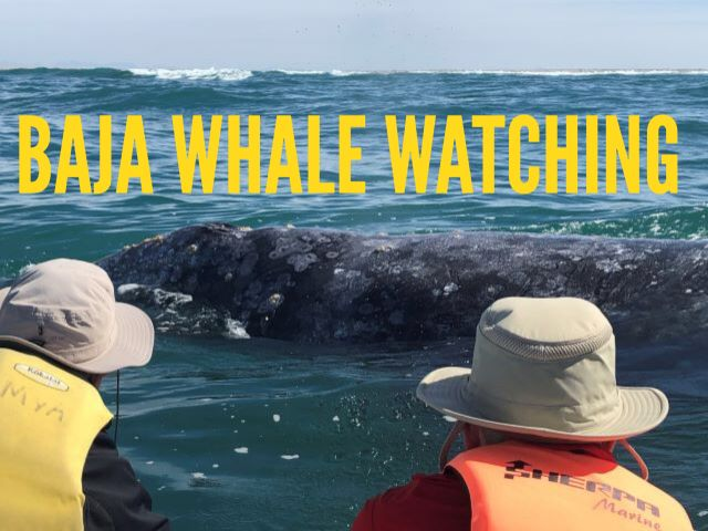 Ultimate Gray Whale Watching - Baja Friendly Giants