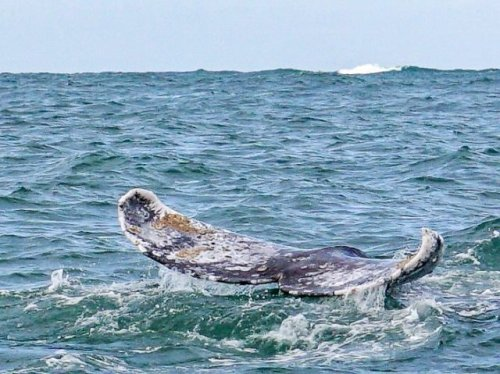 Gray whale fluke with barnacles