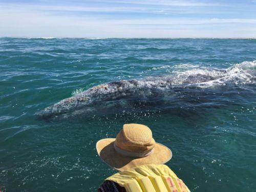 Gray whale watching trip mar Y Aventuras