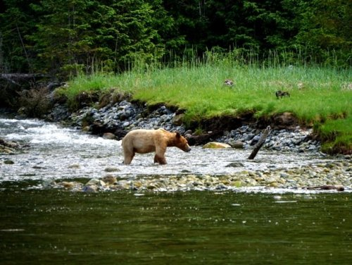 Grizzly Bear Blind Channel Wilderness Tour
