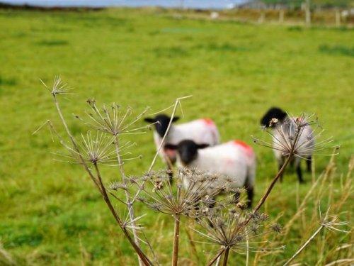 Irish painted sheep