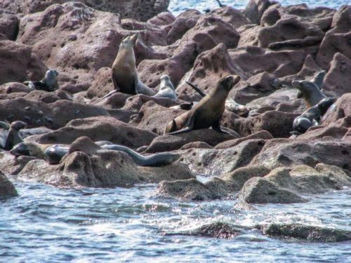 Los Islotes Sea lions