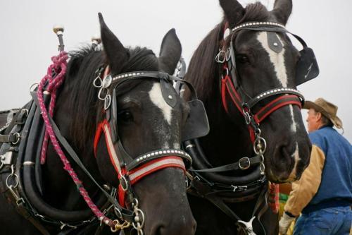 Pecheron horse