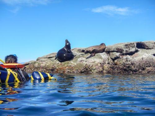 Sea lions Los Islotes
