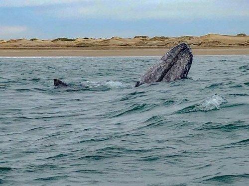 Whale spy hop Mar Y Aventuras