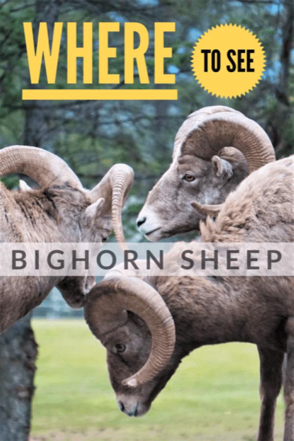 Where to see Bighorn sheep. Watch the Rocky mountain sheep in breeding season bang heads in Radium British Columbia. #bighornsheep #wildlife #bighornram #bighorn #sheep #Radium #RadiumHotSprings #BritishColumbia #Canada #HeadbangerFestival