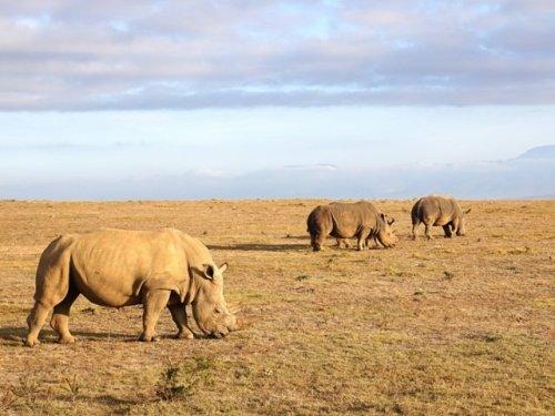 White Rhinos africa