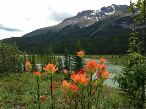Wildflowers Icefields Parkway