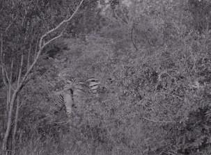 Zebras in the bush in black and white