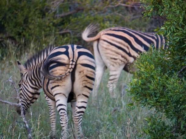 Two zebras with their black and white stripe patterns keeping flies off with tails