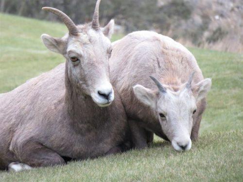 mountain sheep ewes