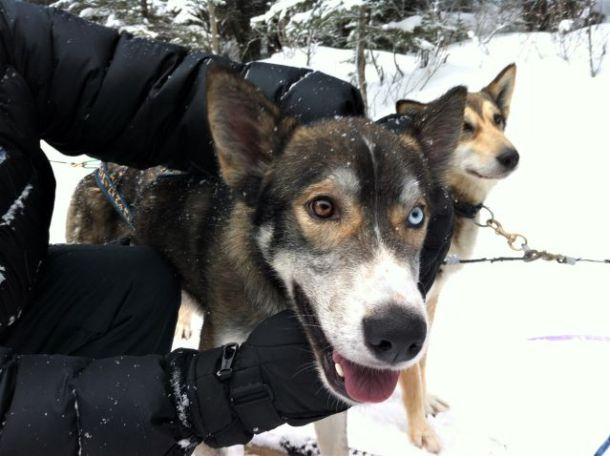 sled dog with blue and brown eyes
