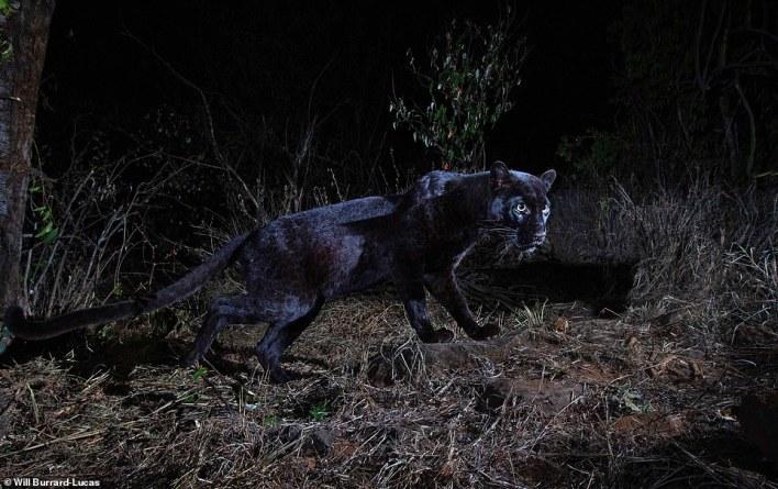 بالصور : أول ظهور للنمر الاسود في كينيا منذ قرن كامل 2