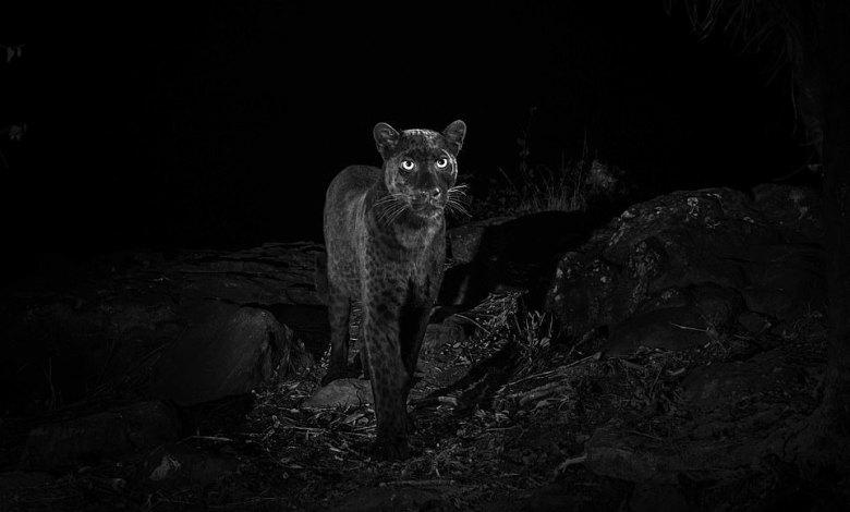 بالصور : أول ظهور للنمر الاسود في كينيا منذ قرن كامل 1