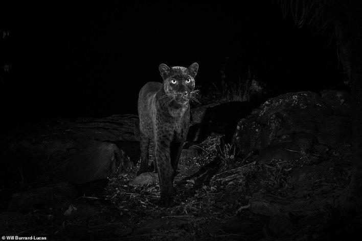 بالصور : أول ظهور للنمر الاسود في كينيا منذ قرن كامل 3