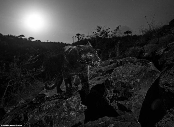 بالصور : أول ظهور للنمر الاسود في كينيا منذ قرن كامل 4