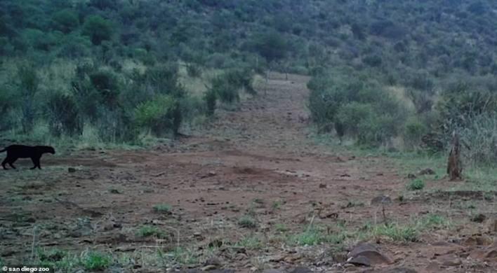 بالصور : أول ظهور للنمر الاسود في كينيا منذ قرن كامل 8