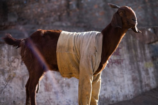 A goat in a jumper in India