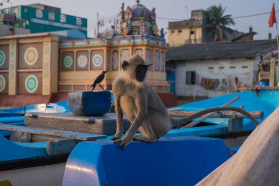 A monkey plays on a Trincomalee beach.