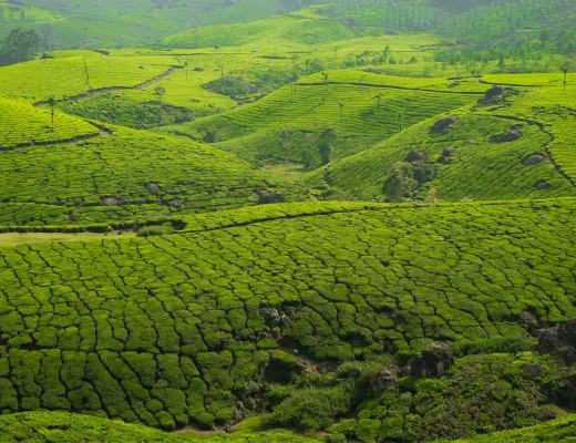 Rolling tea hills of Munnar.