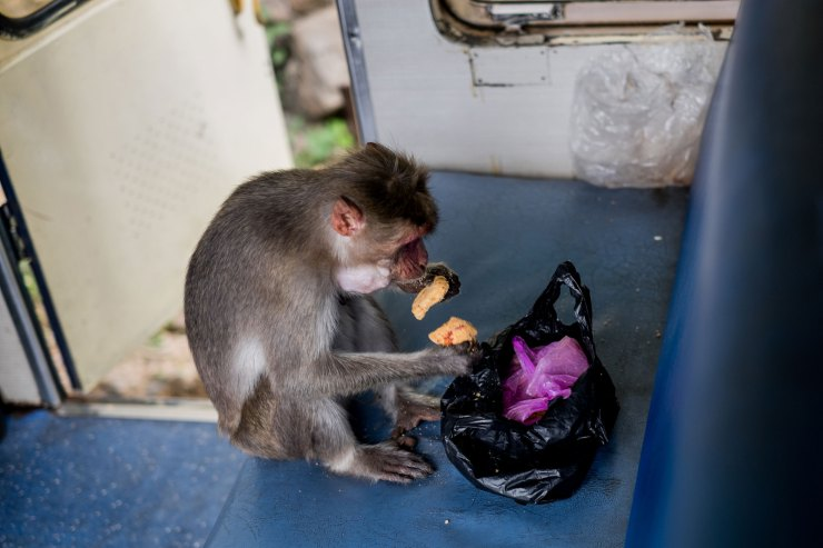 A monkey steals biscuits on the Nilgiri Mountain Railway Train.