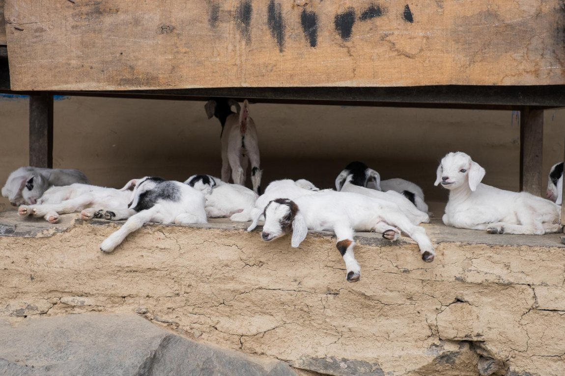 Kid goats in Nepal
