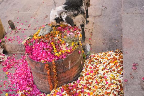 A goat eats flowers from a bin in Varanasi