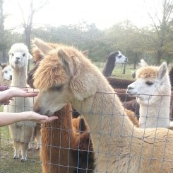 I risked great amounts of alpaca slobber in order to feed them. I as almost gummed to death.