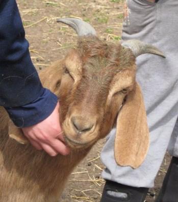 Esther goat