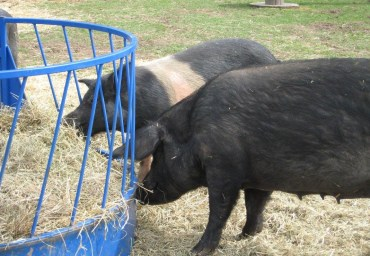 Esther pigs