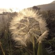 I think a massive kind of dandelion.