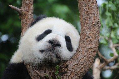 panda di ueno fra gli alberi