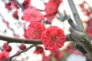 ume no hana il mio viaggio in giappone fiori rossi traveltherapists