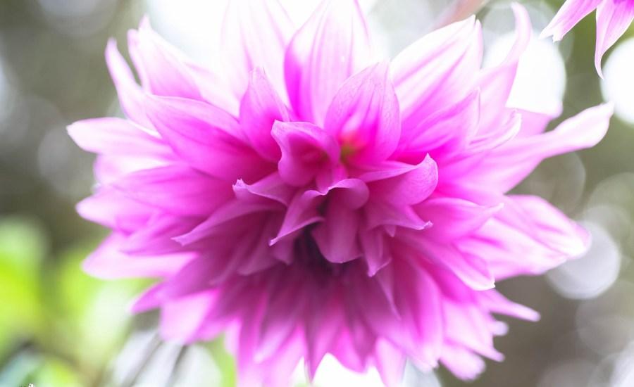 Dahlia Flower Japanese Coffee Farm Kona