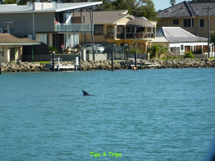 A dolphin sighting on the Mandurah dolphin cruise