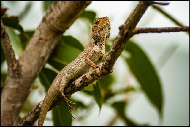 Oriental Garden Lizard, Haldwani, Uttarakhand, India