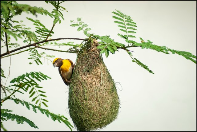baya weaver (male) in breeding plumage, haldwani, uttarakhand, india