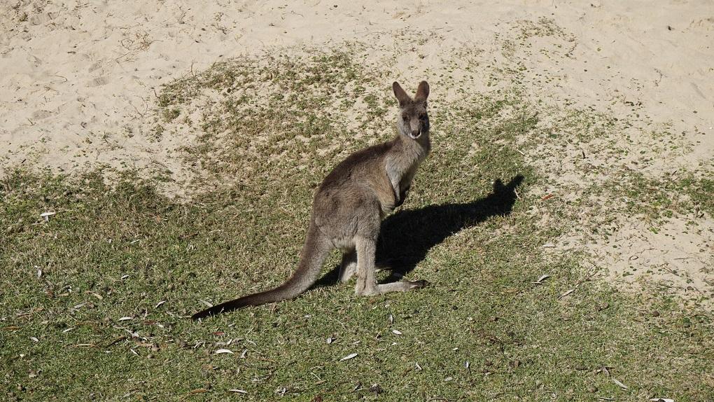 Kangoeroe op Pebbly Beach in Australië