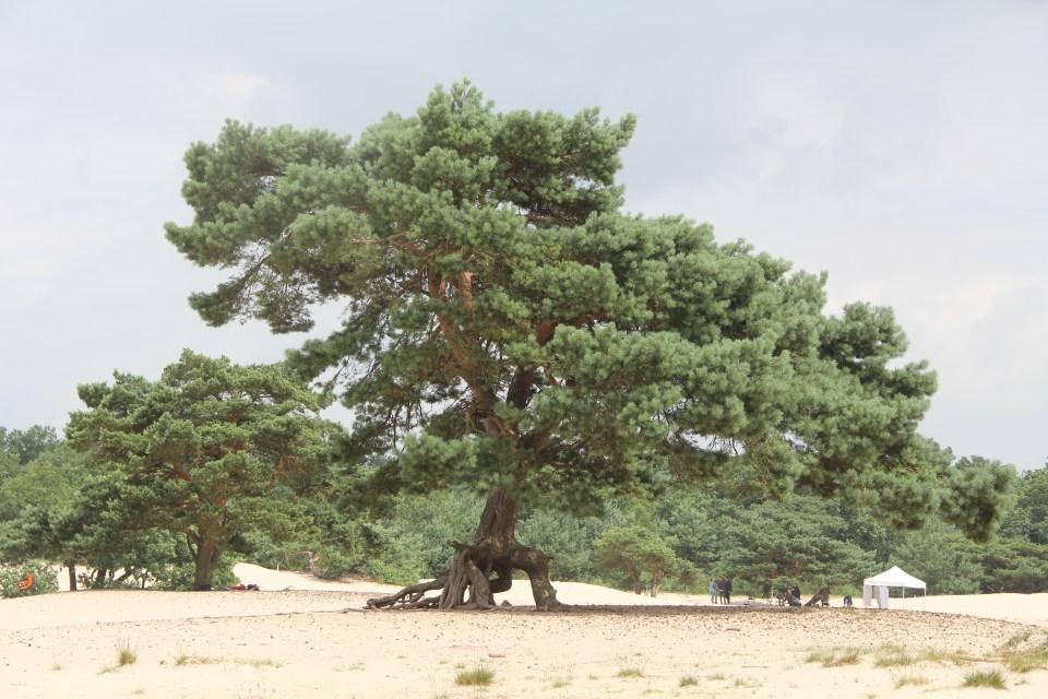 Soestduinen Tree