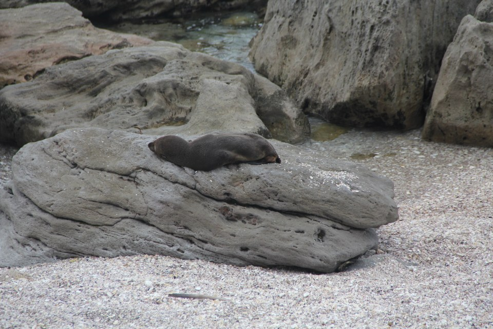 Mount Mauganui Sea Lion