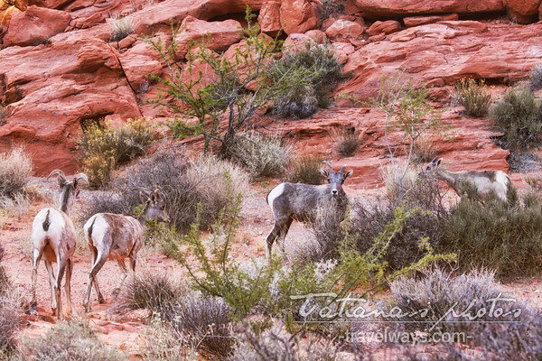 Group of bighorn desert bighorn sheep in the Valley of Fire