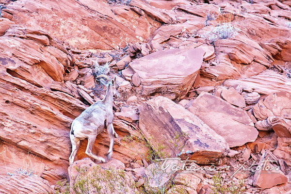 Sheep climbing the rocks in the Valley of Fire