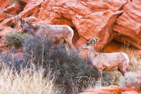 Valley of Fire Desert Bighorn Sheep