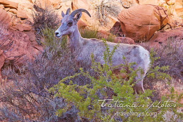 Bighorn sheep in the Valley of Fire