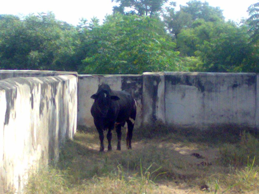 Dairy Farm, BITS,Pilani, India