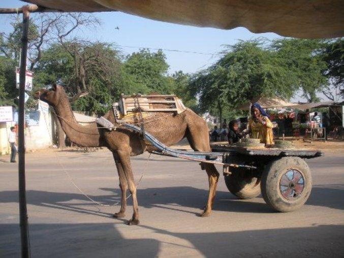 Camel driven carts. Pilani, Rajasthan, India